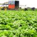 zbiory-warzyw-kapusty2