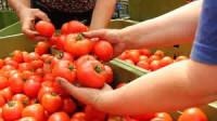 Fizyczna praca w Niemczech przy zbiorach pomidorów, sezonowa Drezno od zaraz