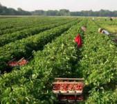 Niemcy praca dla Polaków na plantacji truskawek – stróż Warnsdorf