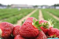 Niemcy praca przy zbiorach truskawek sezonowa od czerwca na wakacje 2014