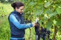 Sezonowa praca w Niemczech bez języka przy winogronach, pielęgnacja, zbiory Tiengen