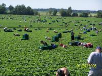 Oferta sezonowej pracy w Niemczech bez języka przy zbiorach warzyw