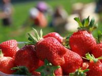 Zbiory malin, truskawek – praca sezonowa w Niemczech na wakacje 2014