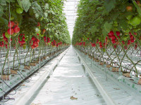 Bez znajomości języka praca Niemcy przy zbiorach warzyw w szklarni Budziszyn