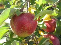 Oferty pracy w Niemczech przy zbiorach jabłek, gruszek od sierpnia 2014 Drezno