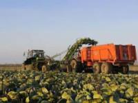 Oferta pracy w Niemczech przy zbiorach sałaty i kapusty od zaraz Hamburg