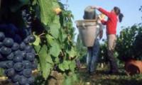 Winobranie-sezonowa praca Niemcy bez języka przy zbiorach winogron Fellbach