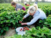 Sezonowe oferty pracy w Niemczech – zbiory truskawek od zaraz lipiec 2014