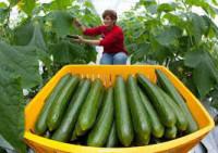 Sezonowa praca Niemcy zbiory warzyw w szklarni od zaraz dla studentów Cottbus