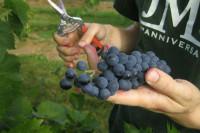 Niemcy praca sezonowa bez znajomości języka przy zbiorach winogron od zaraz