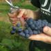 zbiory-winogron-winobranie-2014-3