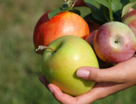 Oferta sezonowej pracy w Niemczech przy zbiorach jabłek i aronii