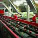 sortowanie-owocow-na-linii-produkcyjnej2