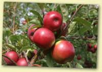 Sezonowa praca Niemcy przy zbiorach jabłek dla Polaków od zaraz Cottbus