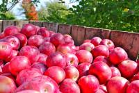Niemcy praca sezonowa od zaraz przy zbiorach jabłek w sadzie Budziszyn