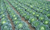 Zbiory warzyw polowych – sezonowa praca Niemcy od zaraz Drezno