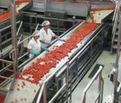 Praca Niemcy na produkcji przy sortowaniu jabłek dla Polaków Kolonia