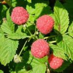 Zbiory owoców 2015 sezonowa praca Niemcy bez znajomości języka Chemnitz