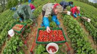 Oferta sezonowej pracy w Niemczech na wakacje zbiory owoców bez języka 2015
