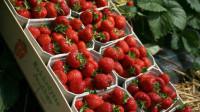Praca w Niemczech zbiory truskawek 2015 bez znajomości języka Purkshof