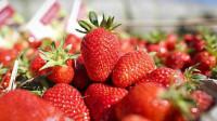 Sezonowa praca Niemcy zbiory truskawek bez znajomości języka Gelbensande