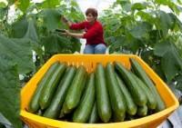 Dam pracę sezonową w Niemczech przy zbiorach ogórków, warzyw od zaraz Hesja
