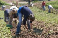 Sezonowa praca Niemcy przy zbiorach szparagów i ziemniaków od kwietnia 2015
