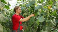 Oferta pracy sezonowej w Niemczech przy zbiorach ogórków w szklarni 2015