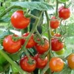 Dam sezonową pracę w Niemczech od zaraz przy zbiorach ogórków i pomidorów