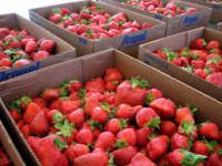 Oferta sezonowej pracy w Niemczech od maja 2015 zbiory truskawek