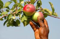 Sezonowa praca w Niemczech od sierpnia 2015 zbiory jabłek w sadzie Rostock