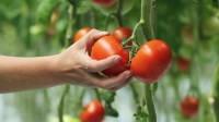 Zbiory pomidorów od kwietnia dam sezonową pracę w Niemczech dla Polaków
