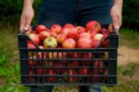 Sezonowa praca w Niemczech przy zbiorach jabłek w sadzie Budziszyn 2015