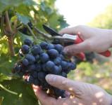 Sezonowa praca Niemcy zbiory winogron od września 2015 winobranie Karlsruhe