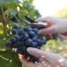 zbiory-winogron-winobranie-2014-4i