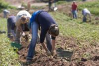 Oferta sezonowej pracy w Niemczech od września 2015 zbiory warzyw Weimar