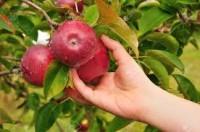 Oferta sezonowej pracy w Niemczech zbiór jabłek od września okolice Rostock