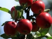 Sezonowa praca w Niemczech przy zbiorach jabłek Zgorzelec od zaraz 2015