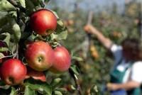Bez języka sezonowa praca Niemcy Stuttgart przy zbiorach jabłek, gruszek i śliwek