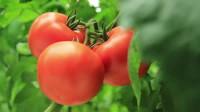 Od zaraz sezonowa praca w Niemczech zbiory warzyw szklarniowych i na polu Norymberga