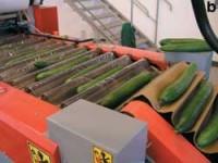 Oferta pracy w Niemczech przy sortowaniu ogórków na produkcji Dingolfing