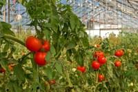Od zaraz Niemcy praca sezonowa przy zbiorach pomidorów w szklarni Fürstenwalde