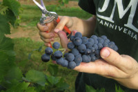Od zaraz Niemcy praca sezonowa przy zbiorach winogron Koblencja