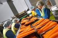 Oferta pracy w Niemczech od zaraz sortowanie marchwi bez znajomości języka