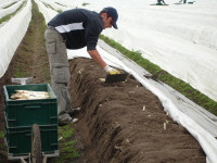 Od marca 2016 dam sezonową pracę w Niemczech zbiory szparagów Fellbach