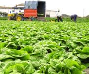 Dam sezonową pracę w Niemczech 2016 zbiory warzyw – sałaty i kapusty