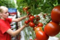 Sezonowa praca Niemcy przy zbiorach warzyw szklarniowych Zwickau kwiecień 2016
