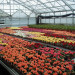 kwiaty-szklarnia-niemcy-holandia2