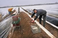 Ogłoszenie sezonowej pracy w Niemczech zbiory szparagów od zaraz Luckenwalde