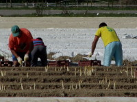 Niemcy praca sezonowa przy zbiorach szparagów kwiecień-czerwiec 2016 Scharringhausen